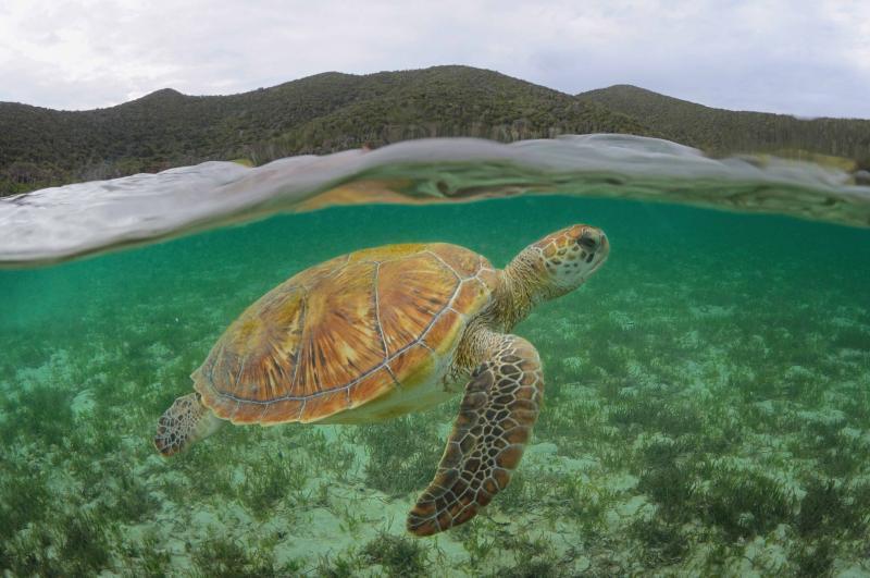 Sea Turtle, LHI