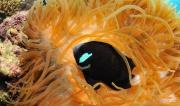McCulloughs Anenome Fish, LHI