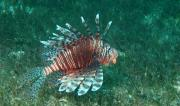 Lion Fish, LHI